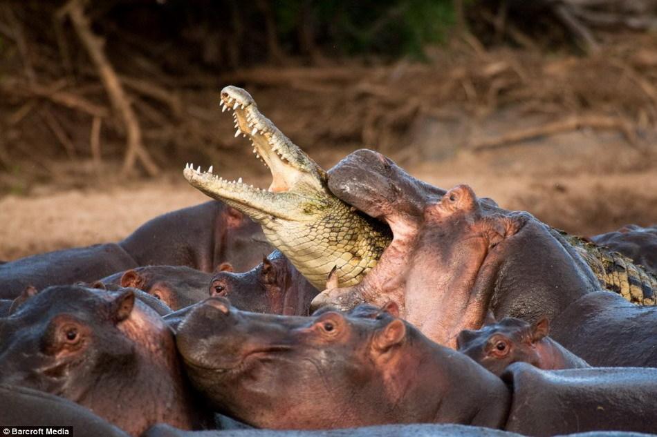 混入了一群正在河里洗澡的河马中,但由于与一头带着小河马的河图片