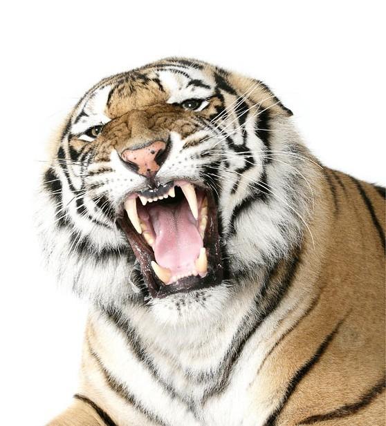 美国南卡罗莱州的濒危和稀有动物保护组织(TIGERS)旗下的大型猫科动物工作室用了一年时间拍摄了一组濒危的大型猫科动物,如老虎、狮子、豹的室内艺术照。   TIGERS组织的发起人和领导者安特尔(Bhagavan Doc Antle)博士称,拍摄这些大型猫科猛兽动物是为了引起大众对濒危动物的关注。在拍摄这些大型猛兽动物亲密照的过程中,最关键的问题是安抚他们。另外还有两个问题也给拍摄带来了一定的难度:第一,年龄分布的不同,拍摄的大型猫科猛兽动物的年龄从3周到28岁不等;第二,选择动物的种类多样化,这