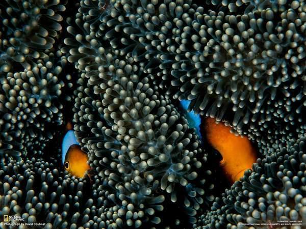 雄性白条海葵鱼照料发育中的受精卵