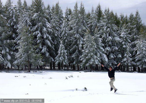圣诞节 雪地松树