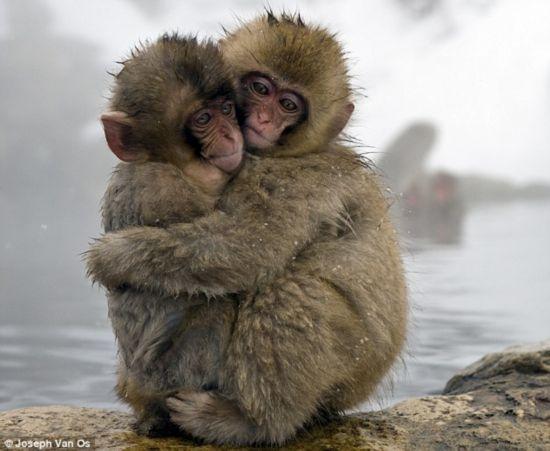 野生动物神奇画面 雪猴温泉边紧紧相拥