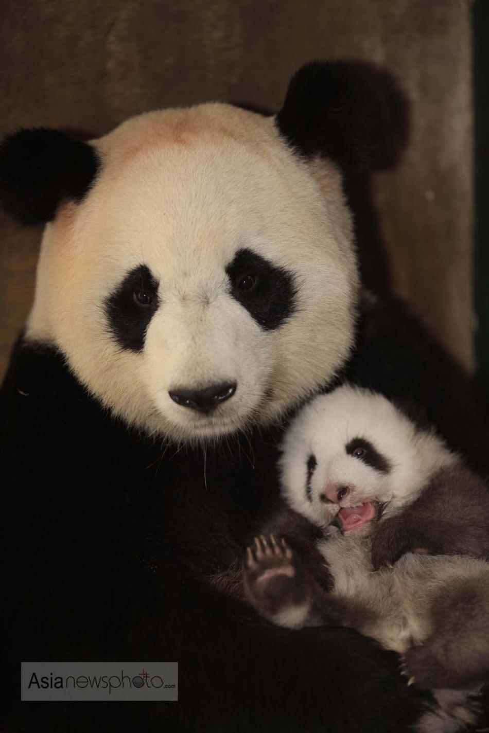 超萌成都新生熊猫宝宝