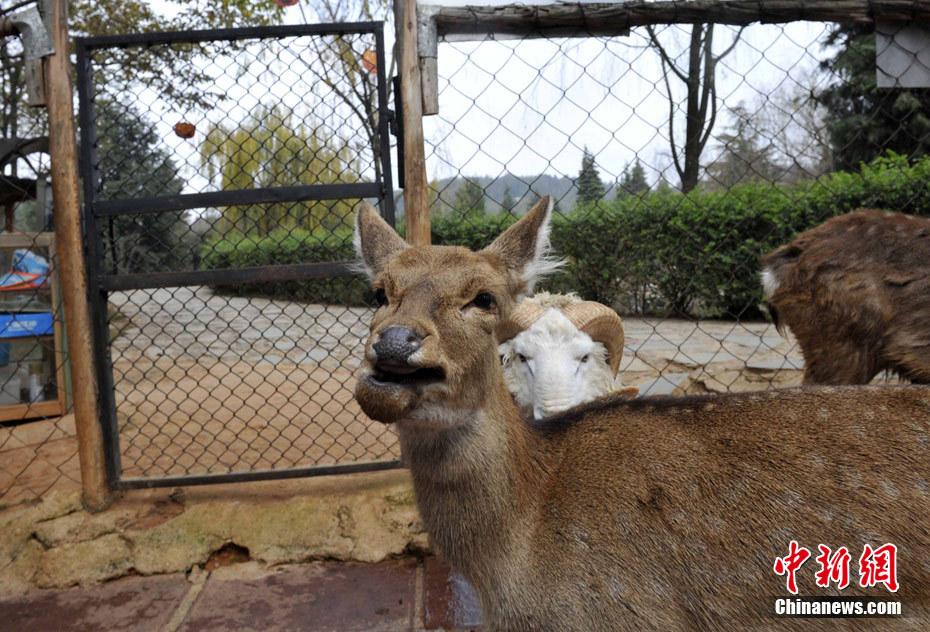 云南野生动物园绵羊与梅花鹿每日交配