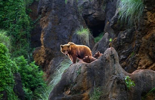 棕熊幼崽在西班牙动物园学习打斗