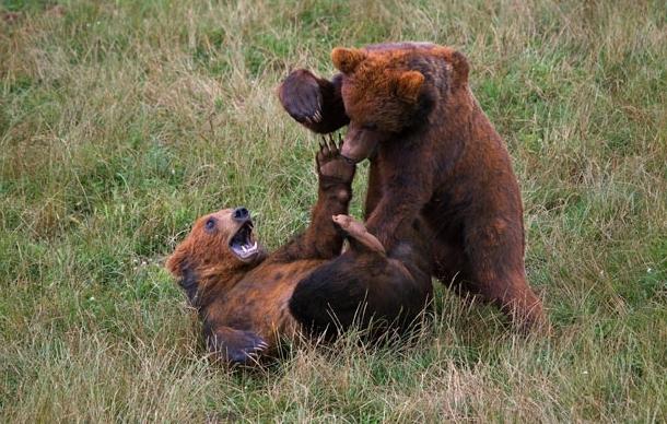 棕熊幼崽在西班牙动物园学习打斗_世态万象【宰相助理
