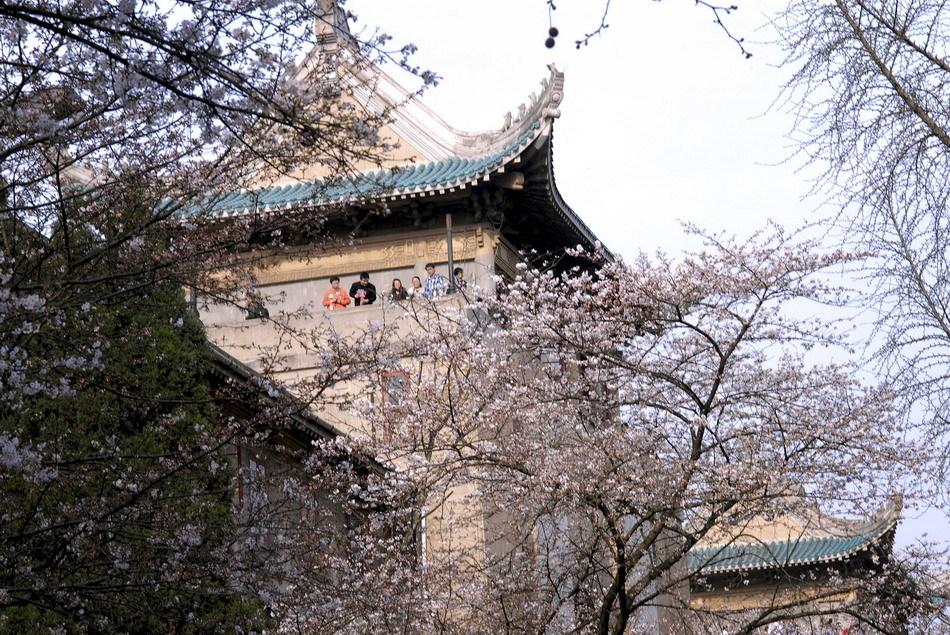 将武汉大学校园装点得分外美丽.目前,武汉大学校园内的樱花已