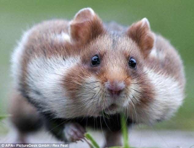 可爱仓鼠鼓起脸颊运输冬眠美食