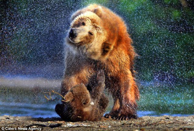 棕熊妈妈强行为宝宝洗冷水澡