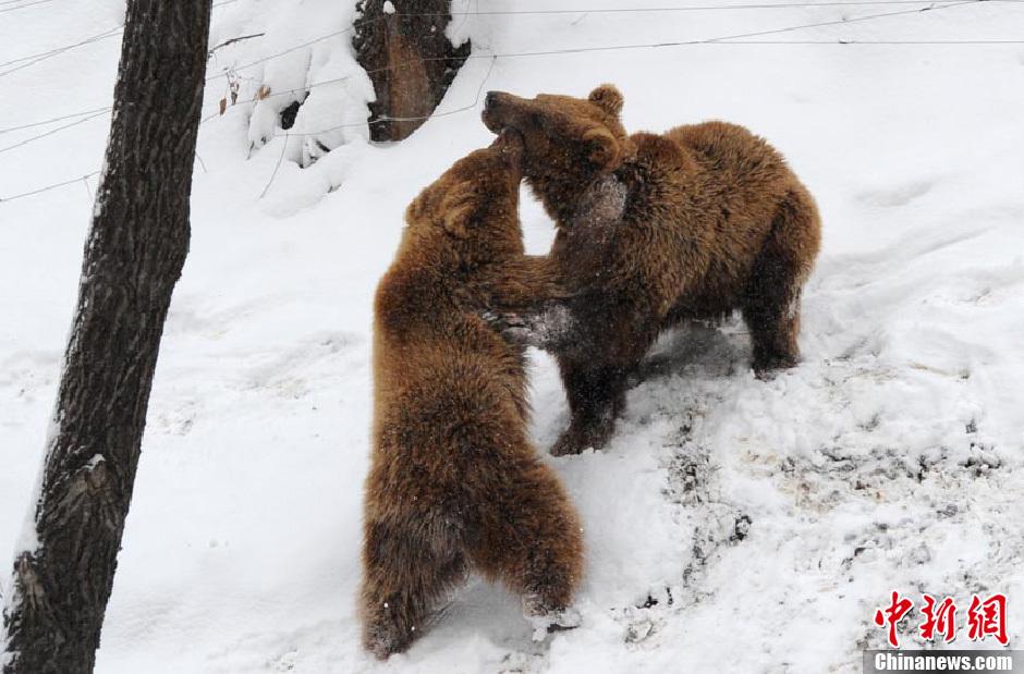 长春动物园猛兽雪地撒欢_新浪图片