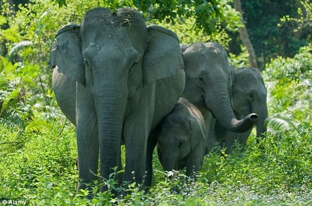 印度大象被非法捕猎者拔牙濒死