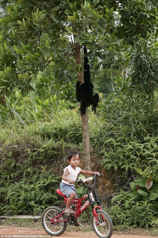 """印尼4岁男孩与长臂猿情似""""兄弟"""""""