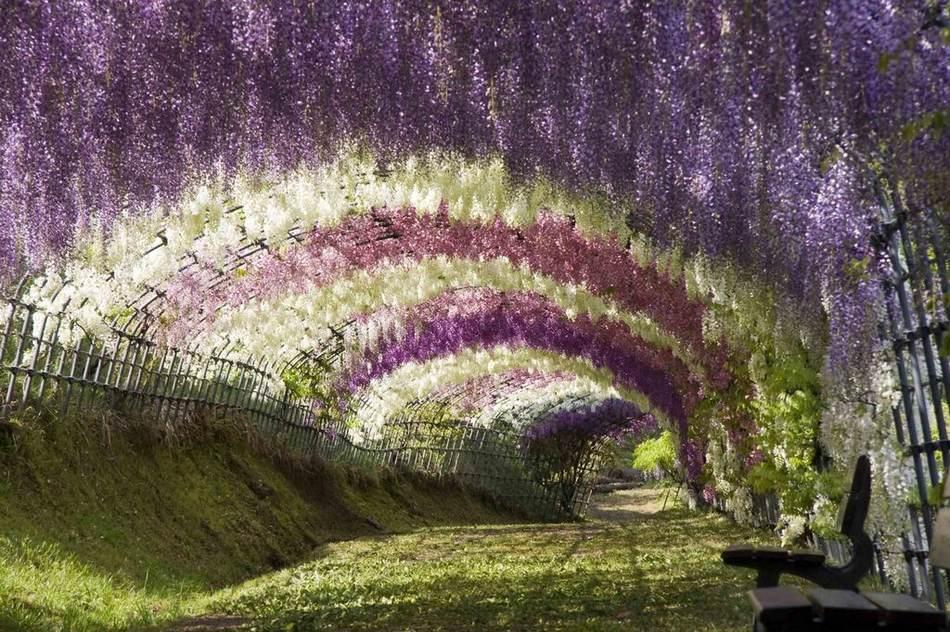 紫藤花园,日本九州. 震撼眼球的世界最美林荫大道高清图片