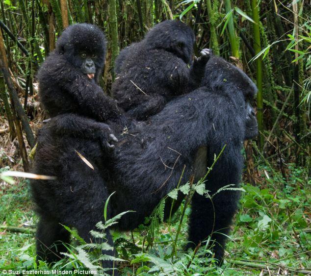 山地大猩猩可爱幼崽齐玩耍