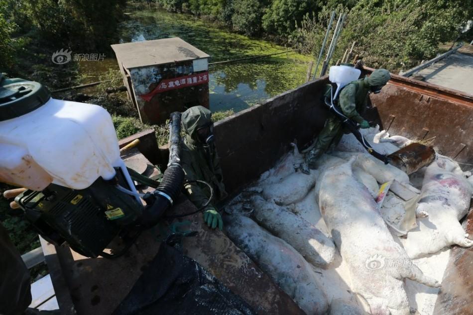 村口.村口一个大型的养猪场已经被洪水淹没,猪场里漂浮着数十头