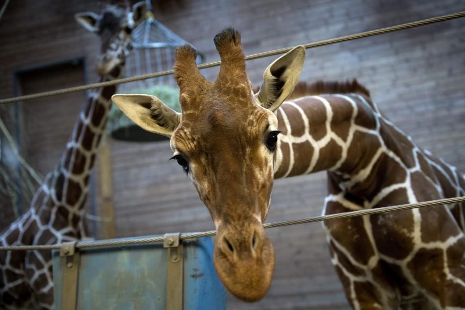 丹麦动物园处死近亲繁殖长颈鹿喂狮子