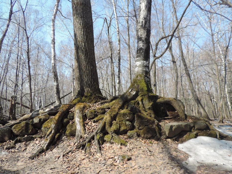 一个天然的树根盆景,感谢大自然!-春到张广才岭