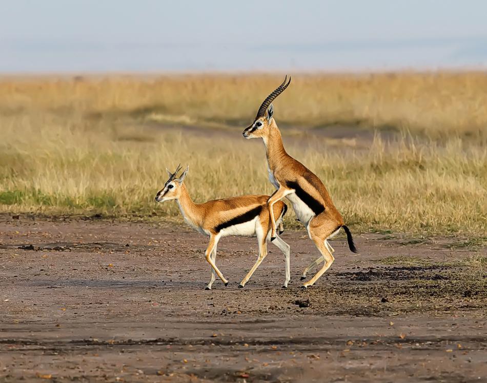 羚羊繁殖后代-动物世界图片