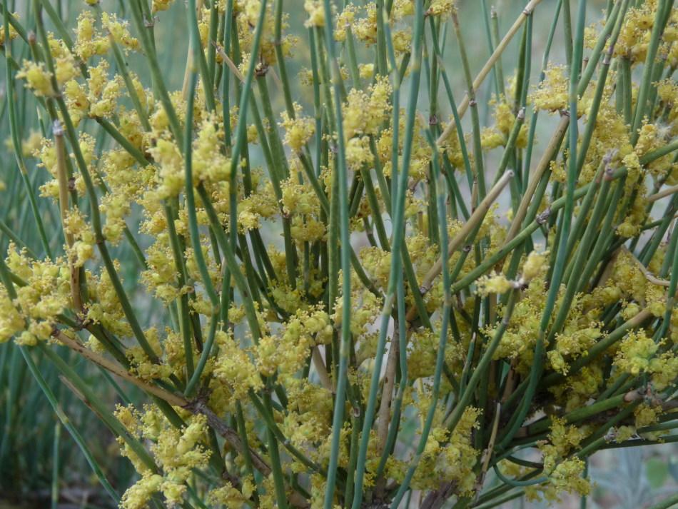草麻黄 麻黄科麻黄属 拉丁epnedya sinica stapf 裸子植物