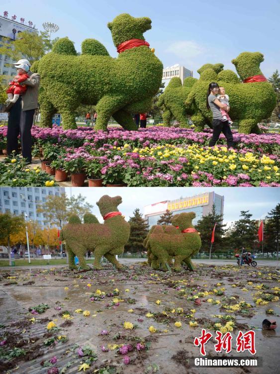 呼和浩特菊花展 价值价值约150万数万盆菊花被搬空
