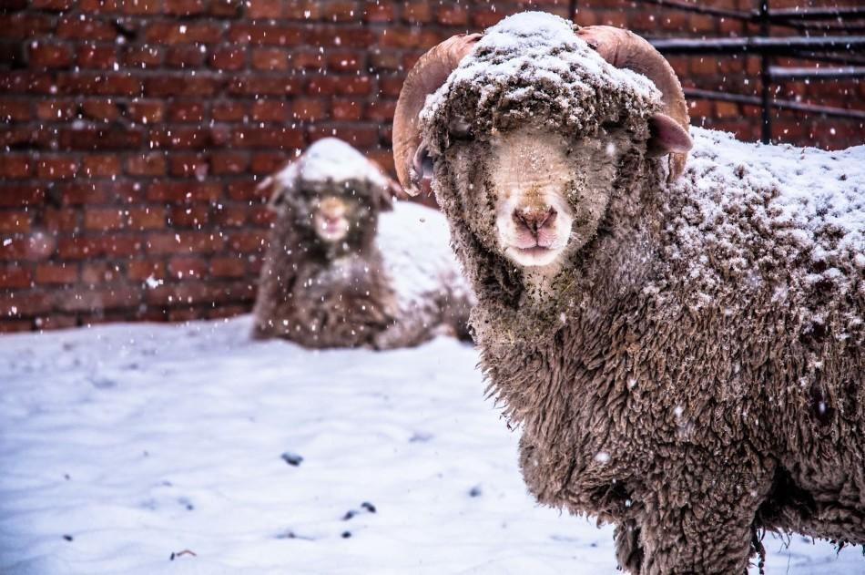 新疆石河子大雪 绵羊成