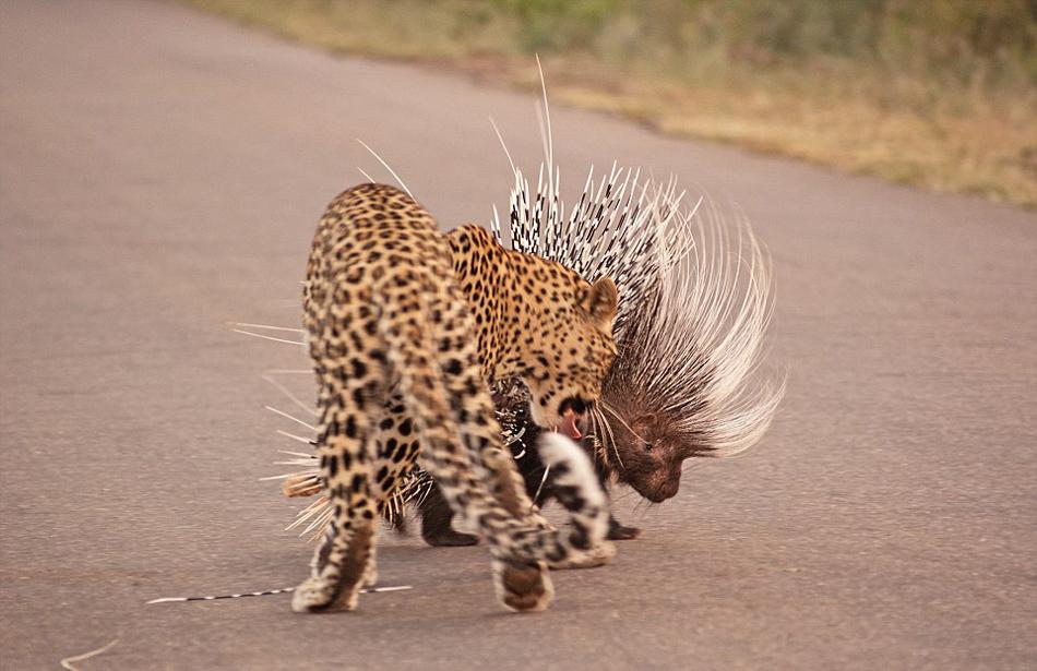 猎豹欲捕杀豪猪当午餐反被刺伤