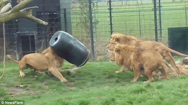 动物园狮子与同伴抢肉 脑袋被卡桶中_高清图集_新浪网