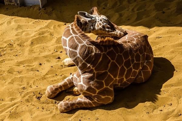 动物睡觉的姿势有哪些
