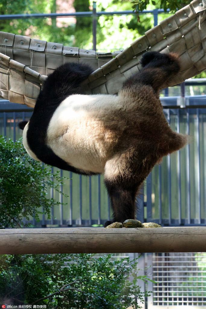 秀武艺!日本动物园上演真实版功夫熊猫