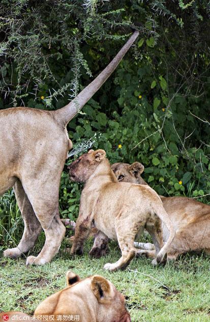 小狮子被亲爹尿了一脸_高清图集_新浪网