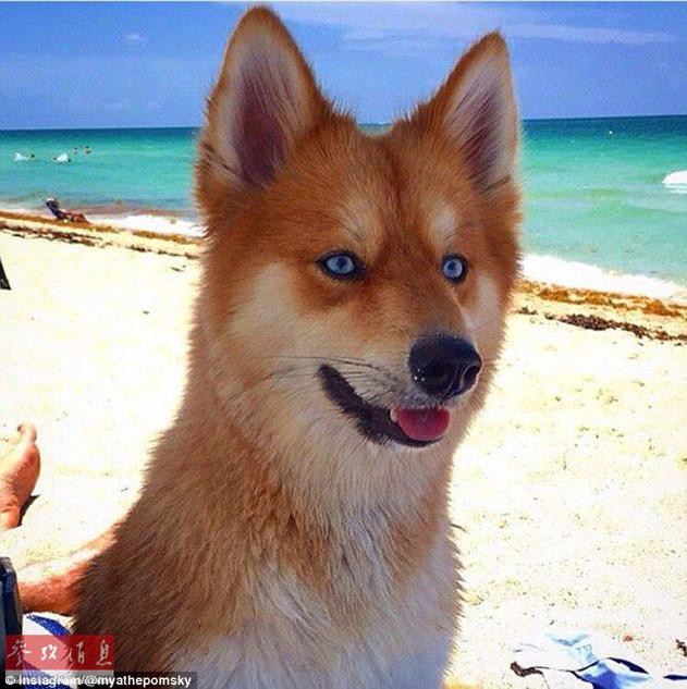 狐狸还是狗?蓝眼睛萌宠走红网络