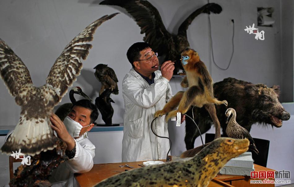 2016年4月的一天,吉林省自然博物馆动物剥制实验室内,标本剥制师姜
