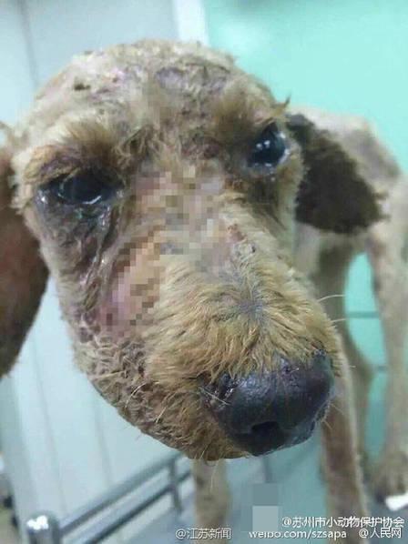 泰迪犬遭虐待 全身被滚油淋 - 动物保护和互助 - 万千