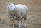 绵羊误食大麻后集体傻笑