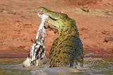 """凶残!南非""""力量帝""""鳄鱼将斑马撕成碎片"""