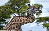 长颈鹿为争配偶折断脖子