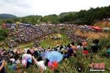 贵州榕江举行斗牛活动庆吃新节 场面壮观