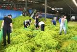 青岛已清理浒苔超7万吨