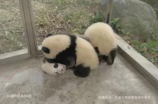 成都网红大熊猫小灰灰变黑了
