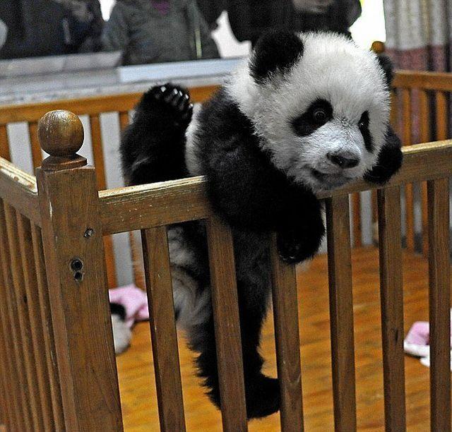 越狱未遂的可爱熊猫_高清图集_新浪网