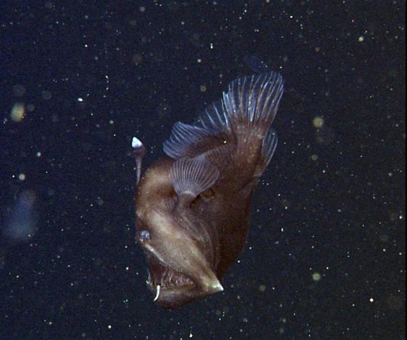 研究人员拍到深海怪鱼 长相骇人如 魔鬼