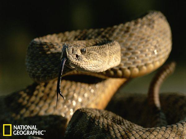 据美国国家地理网站报道,美国国家地理网站刊登了一组响尾蛇的图片,展示了各种响尾蛇的形态与活动方式,其中包括草原响尾蛇、莫哈韦沙漠响尾蛇等。这种草原响尾蛇的攻击带有剧毒。一条成年草原响尾蛇在咬到猎物的时候可以控制它们毒液的释放量,这一点年幼的草原响尾蛇做不到。