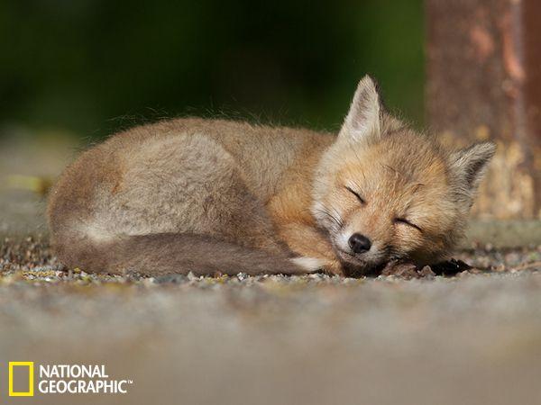 国家地理五月最佳图片:沉睡的小狐狸