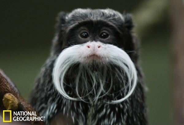 盘点动物界的胡子君:皇狨猴花白胡须似老爷爷