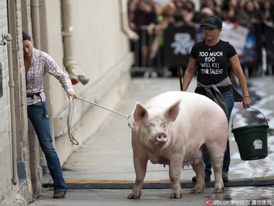 qq头像动物可爱萌猪