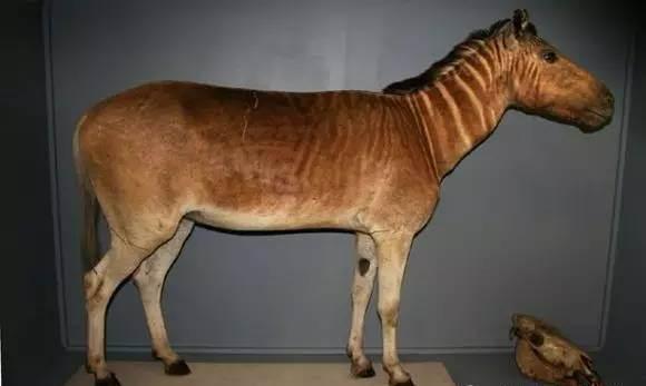 是南非洲一种已灭绝的动物,前半身像斑马、后半身像马,是普通斑