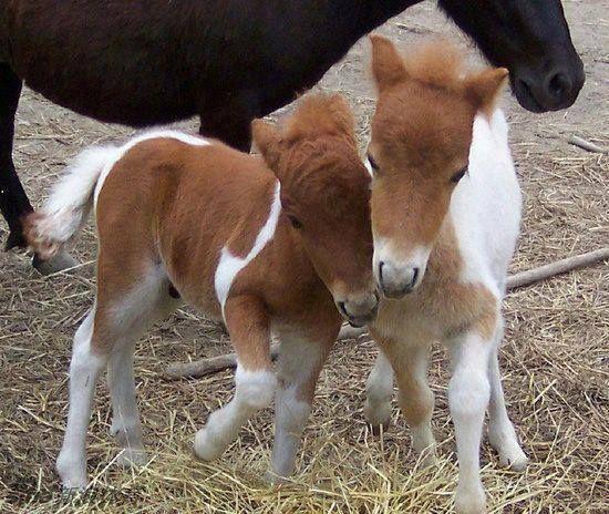 马是单胎动物,生下双胞胎的可能性很低.看看这些超萌的双胞胎马儿!