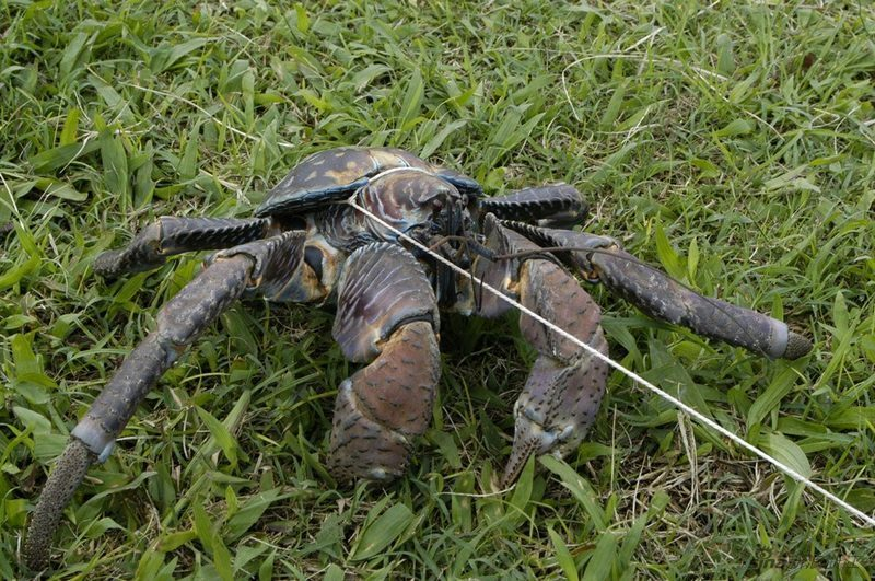 世界现存最大的节肢动物 椰子蟹