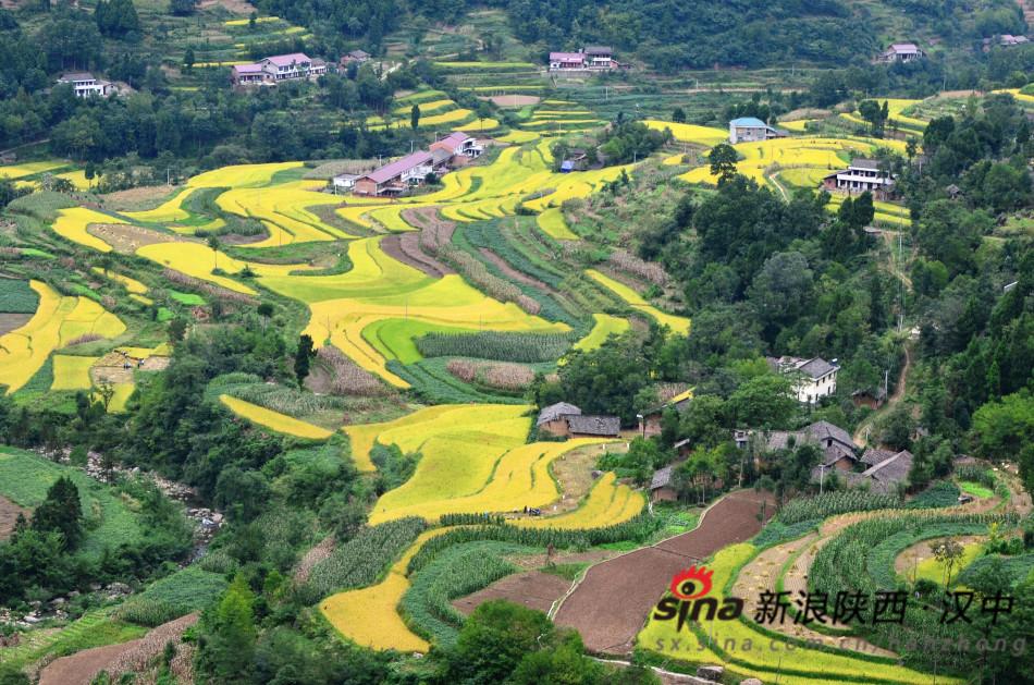 万多亩水稻喜获丰收.放眼望去,金黄的水稻与连绵的青山、粉墙黛