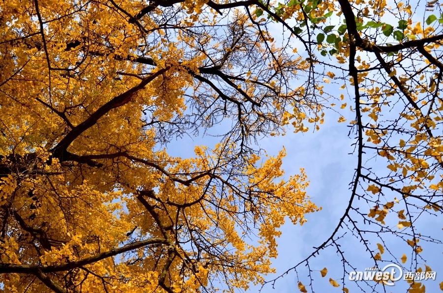 夏家河村一组的三棵又高又大的千年古银杏树在蓝天白云的映照下显