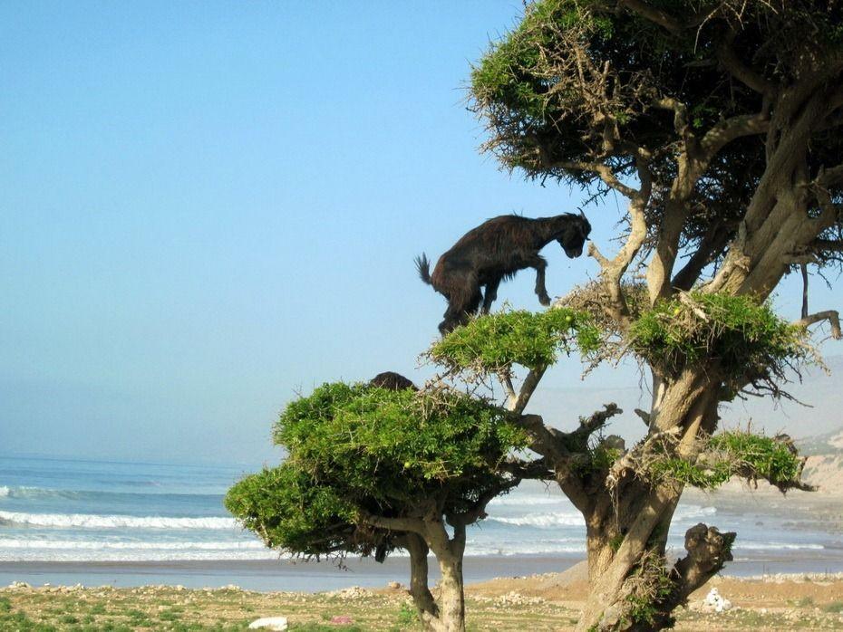 山羊爬树 撒哈拉沙漠惊现奇景 羊上树